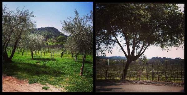 vineyards and trees